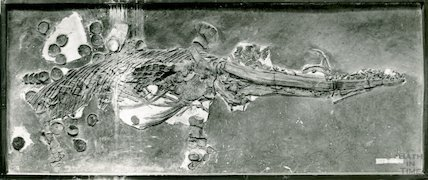 Ichthyosaurus in Moore Collection