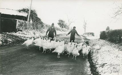Farmers driving Christmas turkeys along a snowy lane in the Bath area, 14 December 1981