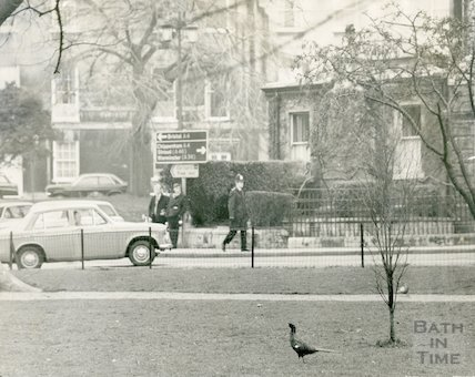 A pheasant in Queen Square, Bath, 11th February 1971