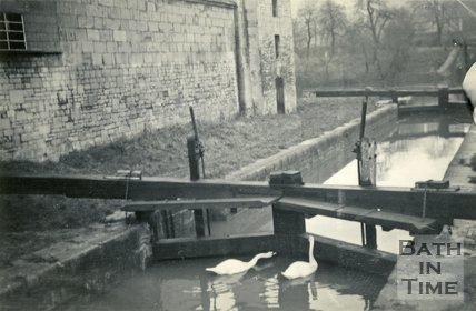 Swans on the Kennet and Avon Canal, Thimble Mill, Widcombe, Bath 1948