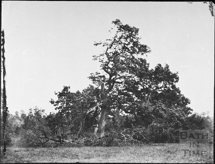 Oak tree struck by lightning, Ashwicke Park 1857