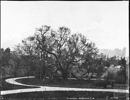 Mulberry tree, Daniel Street, Bathwick, Bath 1857
