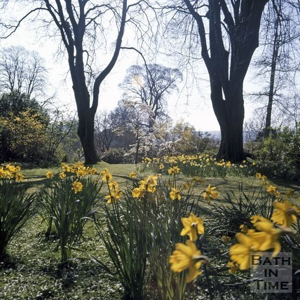 Daffodils in Royal Victoria Park, Bath, c.1975
