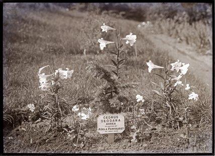 Cedrus Deodara Aurea 1910