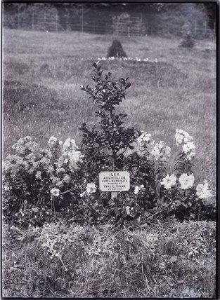 Ilex Aquifolium Aurea Marginata Holly 1909