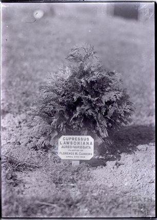 Cupressus Lawsoniana - Aureo-Variegata 1909