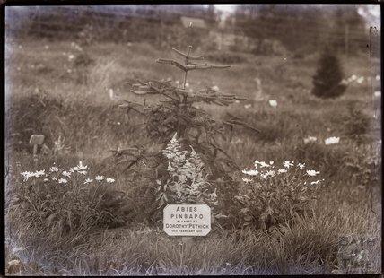 Abies Pinsapa 1911