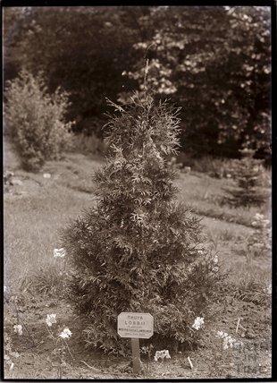Thuya Lobbii 1909