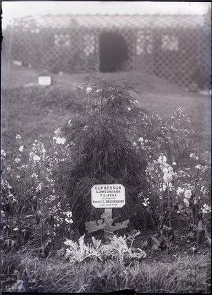 Cupressus Lawsoniana Filifera 1909