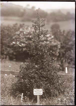Ilex Aquifolium - Fructu-Luteo Holly 1910
