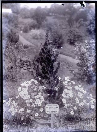 Cupressus Lawsoniana Wisselii 1911
