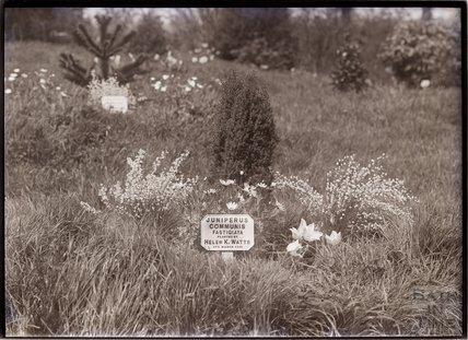 Juniperus Communis Fastigiata, 1911