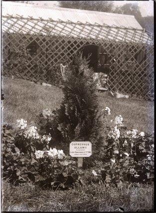 Cupressus Allumii 1909