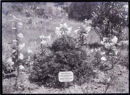 Thuyopsis Dolabrata 1910