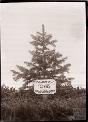Pseudotsuga Douglasii Glauca, 18 September, 1910