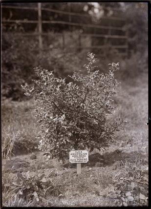 Ilex Aquifolium - Aurea Regina 1910