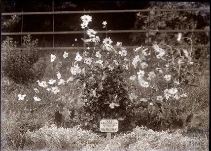 Ilex Aquifolium - Lawsoniana Holly, 1910