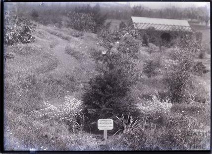 Cupressus Lawsoniana 1910