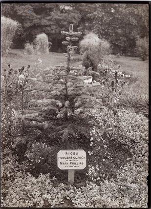 Picea Pungens Glauca 1910