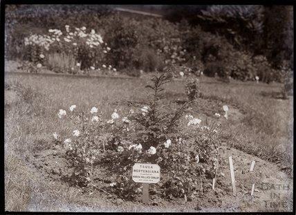 Tsuga Mertensiana 1910