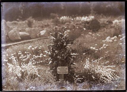 Ilex Aquifolium - Laurifolia Holly 1910