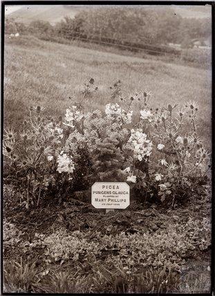 Picea Pungens Glauca 1909