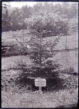 Abies Normanniana 1909