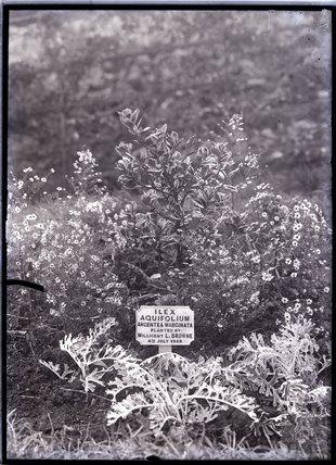 Ilex Aquifolium Argentea Marginata Holly 1909