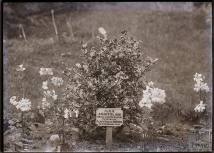 Ilex Aquifolium - (small leaved silver holly) 1910