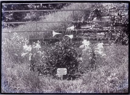 Ilex Aquifolium - Macrocarpa 1910