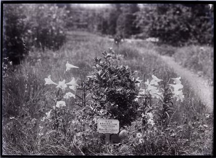 Ilex Aquifolium - Aurea Regina Holly 1909