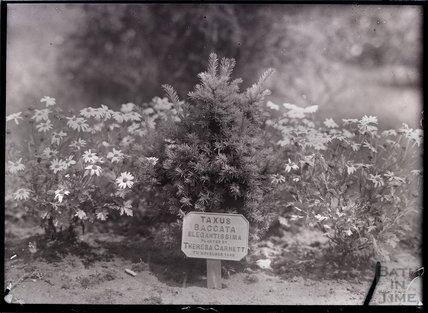 Taxus Baccata Elegantissima 1909