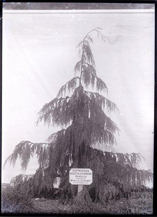 Cupressus Nootkatensis Pendula 1911