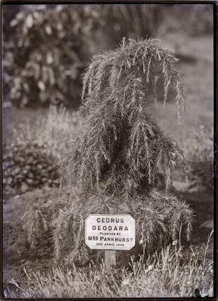 Cedrus Deodara 1911