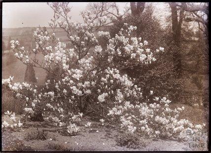 Magnolia Conspicua Speciosa c.1902