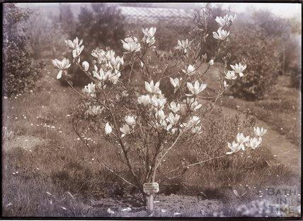 Magnolia Conspicua Alexandrina, China c.1902