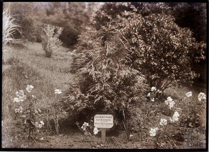 Chamaecyparis Nutkaensis 1910