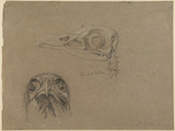 Skull and head of a bearded vulture