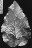Cast of a leaf