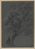 Oak (recto)