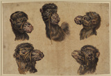 Five studies of a camel's head