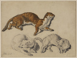 Three studies of a stoat