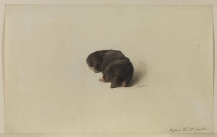 Mole (recto)