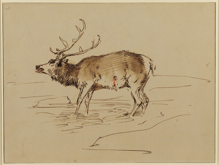 Wounded stag standing in a stream