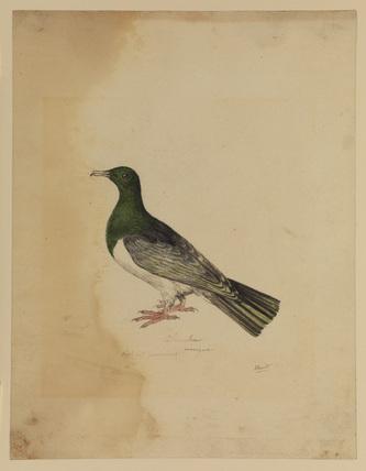 Bird - columba (?)