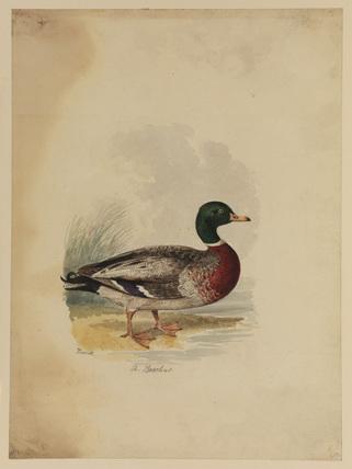 Duck - boschas (?)