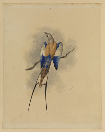 Abyssinian roller - Abyssinian paradise fly catcher