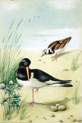 Oyster-Catcher and Turnstone