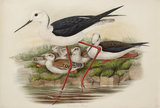 Long-legged Plover