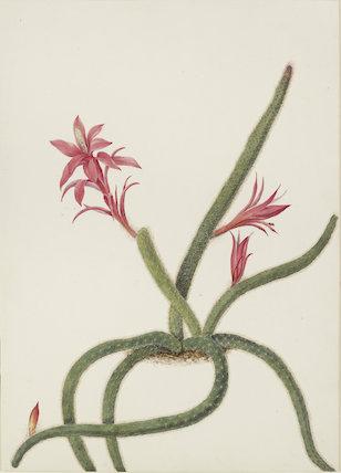 Study of Christmas Cactus